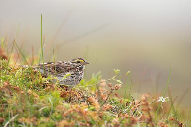 Savannah Sparrow -7652
