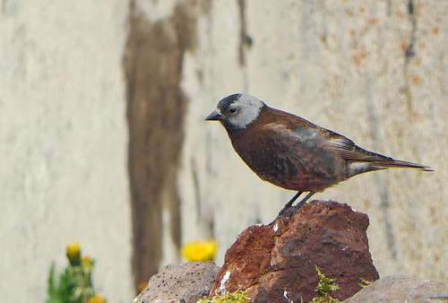Gray-crowned Rosy-finch, Grey-crowned Rosy-finch (Leucosticte tephrocotis)