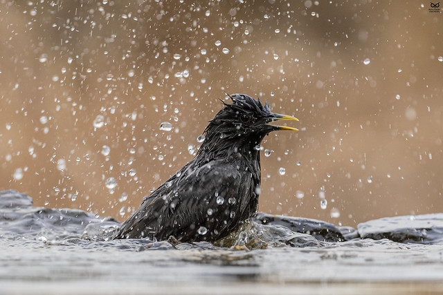 Estorninho-preto, Spotless starling (Sturnus unicolor)