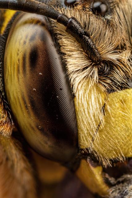 Snoozing European Wool Carder Bee VI