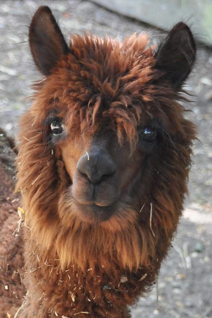 Bad Rappenau, August 2019 ... Das Alpaka, hier in Bad Rappenau, wird in den südamerikanischen Anden wegen seiner Wolle gezüchtet ... Foto: Brigitte Stolle