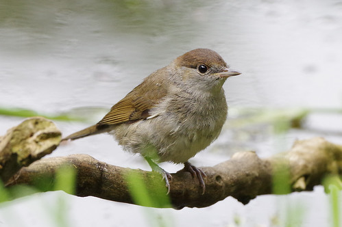 wild bird nature wildlife norfolk warbler blackcap sylviaatricapilla