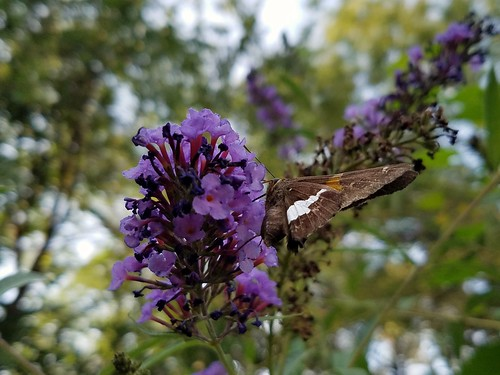 Silver-Spotted Skipper on Butterfly Bush