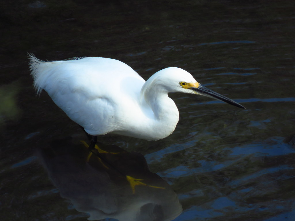 Snowy Egret in the slough