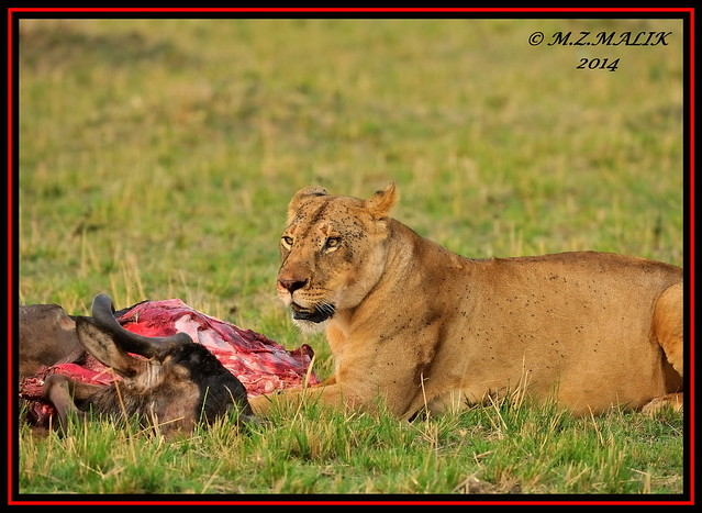 FEMALE LIONESS (Panthera leo) WITH KILL......MASAI MARA......SEPT 2014