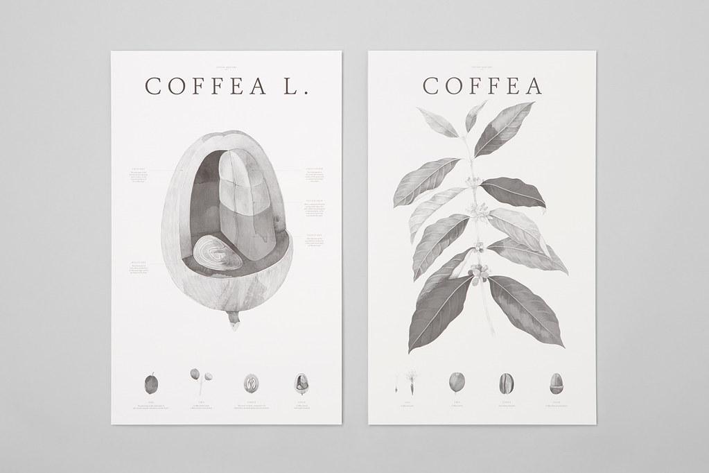 Giống cà phê  - Coffea