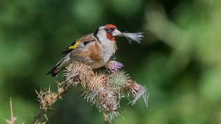 Goldfinch ( Carduelis carduelis )