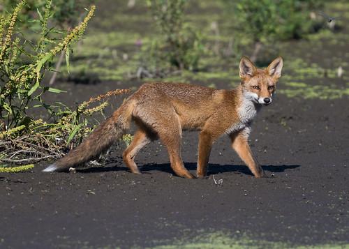 Juvenil Red Fox ( Vulpes vulpes )