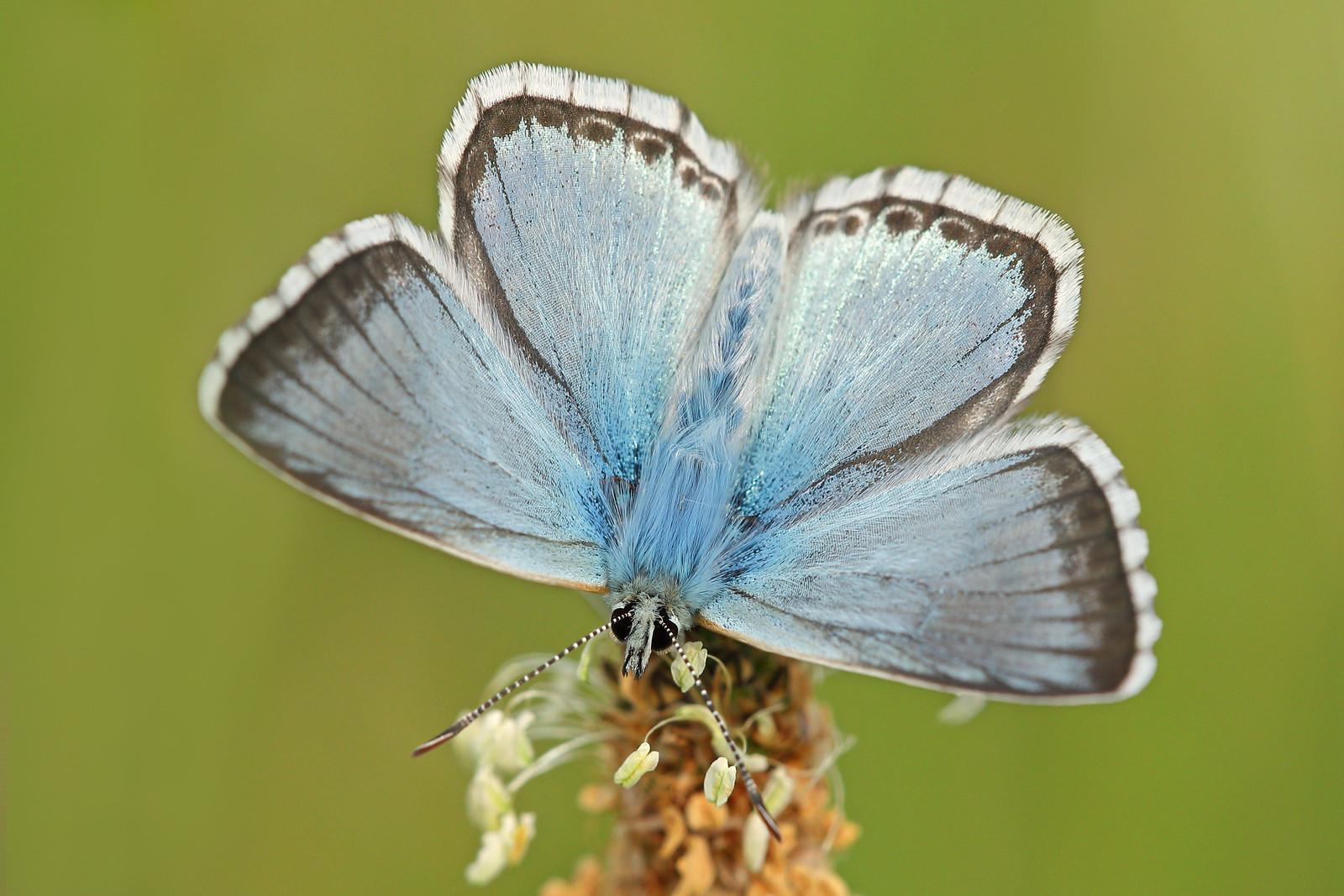 Chalkhill Blue Open Wings