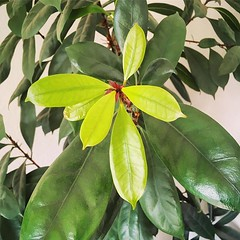 Many new leaves :leaves: and I actually don't know the name of this plant I adopted 5 years ago... Some kind of ficus maybe? I only know it's now 5 times larger! :joy: