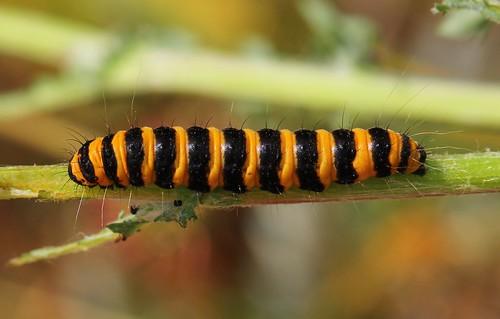 Cinnabar Moth Caterpillar 140719 (3)