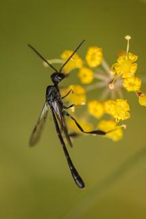 Ichneumon wasp - small