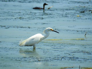 Snowy Egret by Debra Sweeney