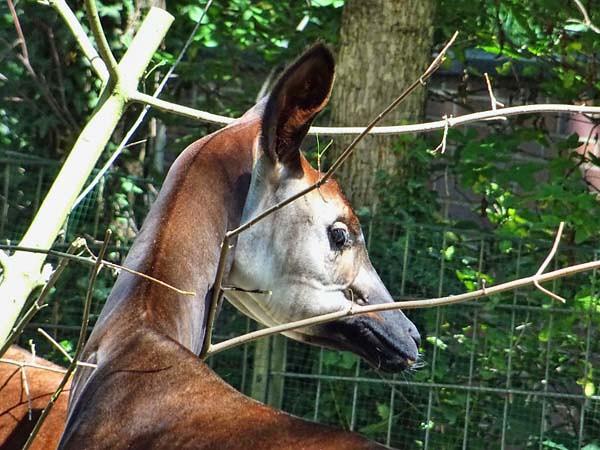 okapi15