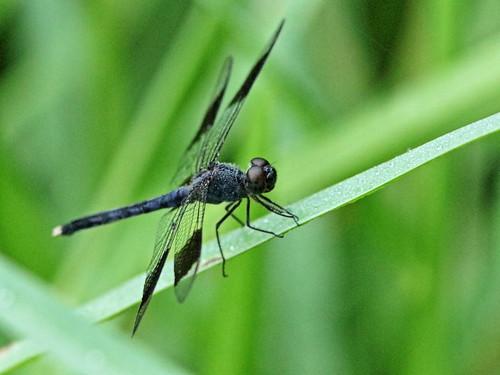 Band-winged Dragonlet - Erythrodiplax umbrata 02-20190805