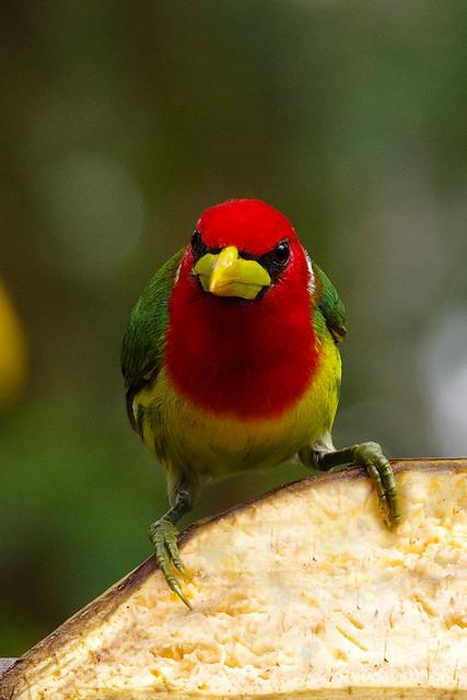 Red-headed Barbet (Eubucco bourcierri) male.  Mindo Cloud Forest Reserve in Milpe, north-western Ecuador.