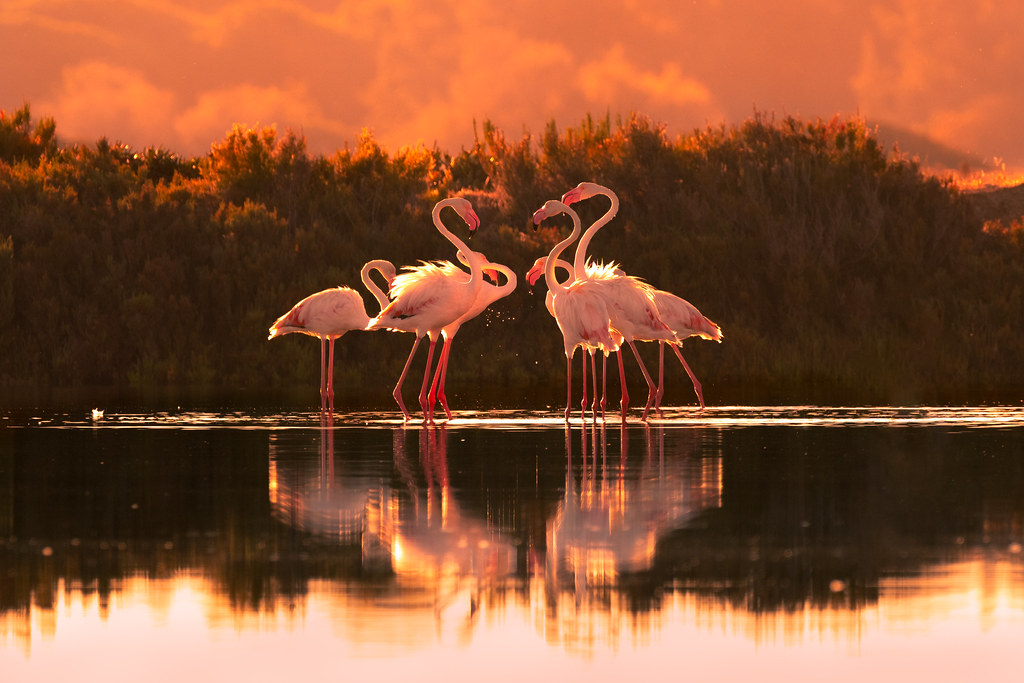 Face-off At Sunrise (Greater Flamingos)