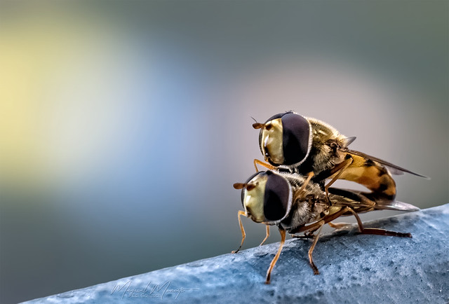 hoverfly artistry