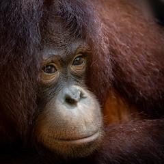 Rehabilitated orangutan