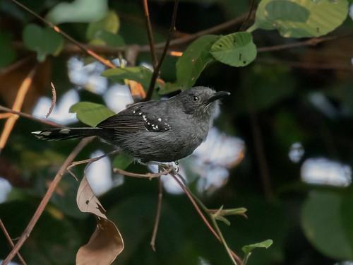 Gray antbird/Chororó-pocuá/Hormiguero gris (Cercomacra cinerascens) male; FloNa de Carajás, Pará_ (2)