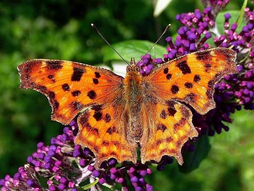 butterflybush buddleia adambuddle commabutterfly polygoniacalbum butterfly insect plant flower gaasperplasparkamsterdamthenetherlands orange olymp