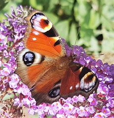 Peacock Butterfly On Buddleia Bush