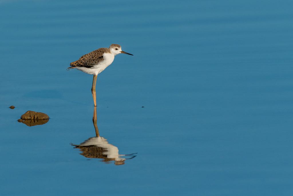 Black-winged Stilt (Juvenile) - Pernilongo (Juvenil) - Himantopus himantopus