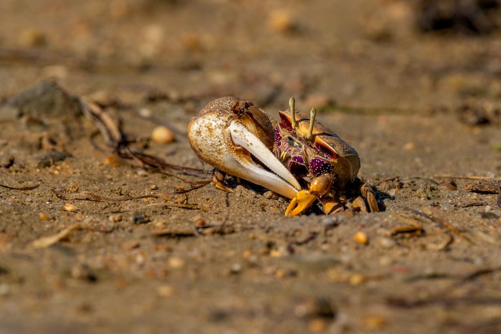 Male Fiddler Crab (Uca tangeri)
