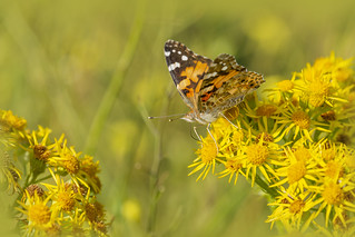 Painted Lady , Butterfly