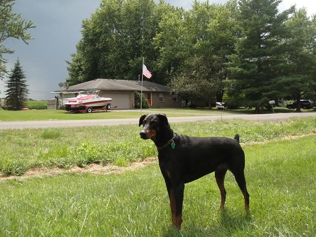 Doberman Pinscher Pictures and Informations - Dog-Breeds com