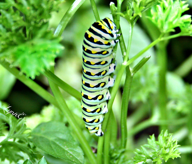 A Swallowtail Caterpiller in our Parsley.