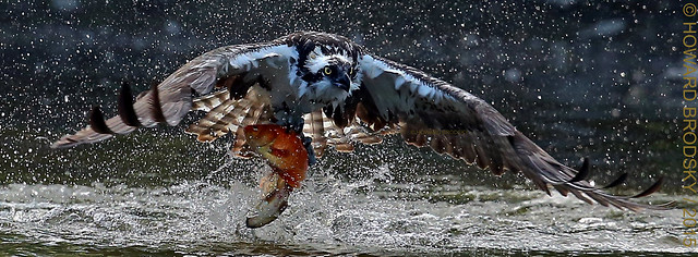 Its Osprey season ......Sooooooooooo.................