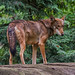 Red Wolf - Photo (c) Valerie, some rights reserved (CC BY-NC-ND)