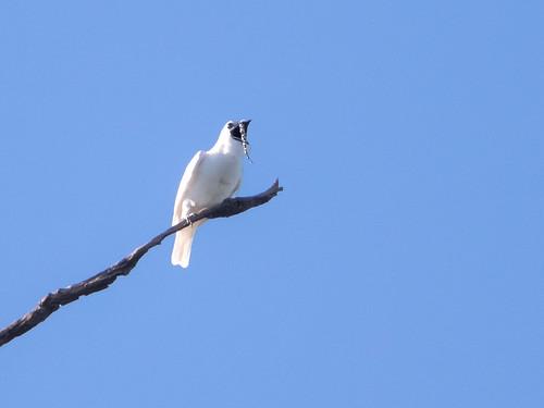 White Bellbird/Araponga-da-amazônia/Campanero blanco (Procnias albus) male