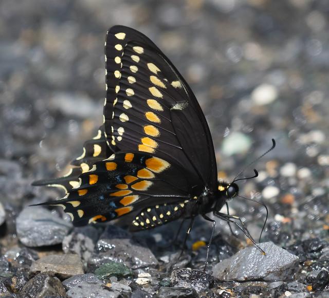 Black Swallowtail (explored 8/6/19)