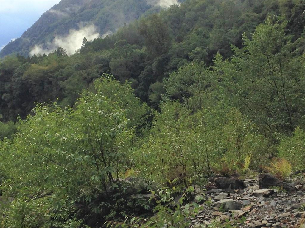 赤楊是常見先驅陽性樹種,然而,並非每一個地方都適合赤楊生長。圖為楠梓仙溪河床撒播的赤楊。攝影:廖靜蕙
