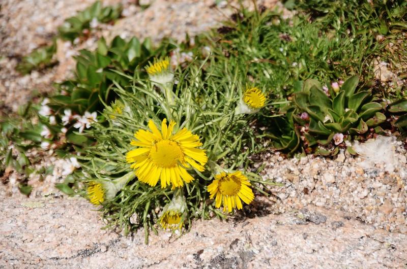 Alpine Sunflower – Old Man of the Mountain (1)