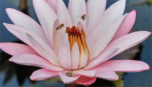 Lotus Flower And Friends