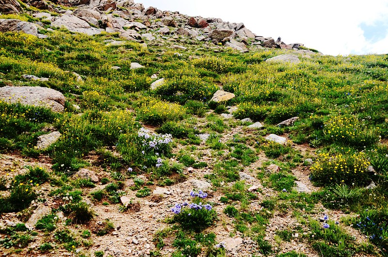 Tundra flowers along the trail up to Mount Evans (42)