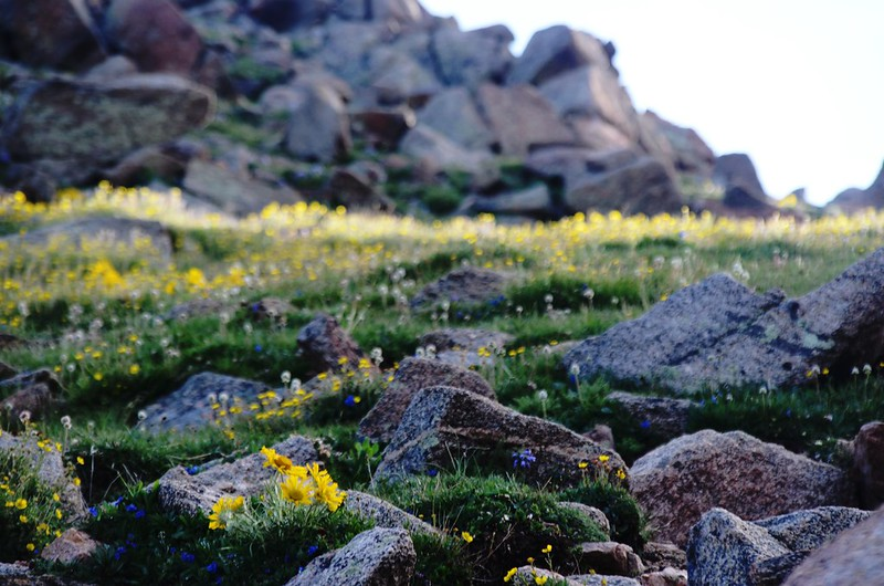 Tundra flowers along the trail up to Mount Evans (3)