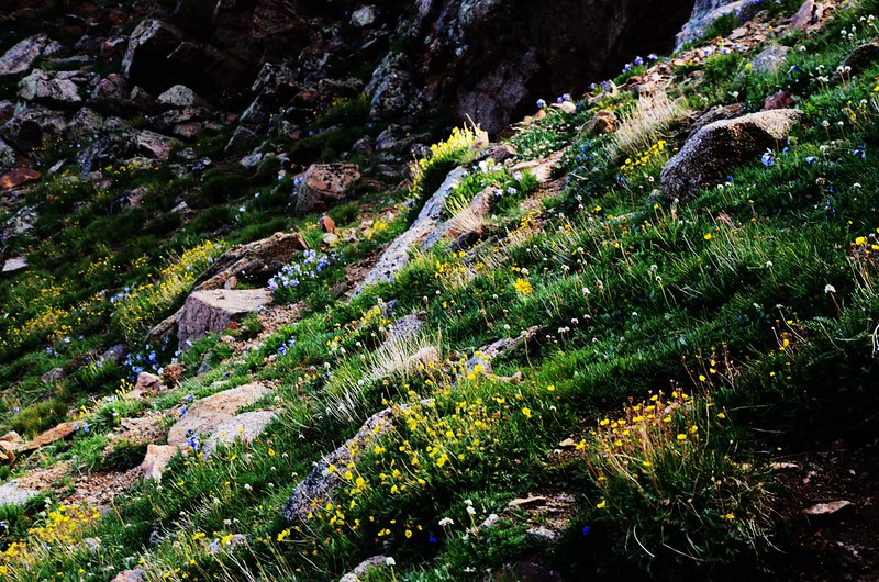 Tundra flowers along the trail up to Mount Evans (2)