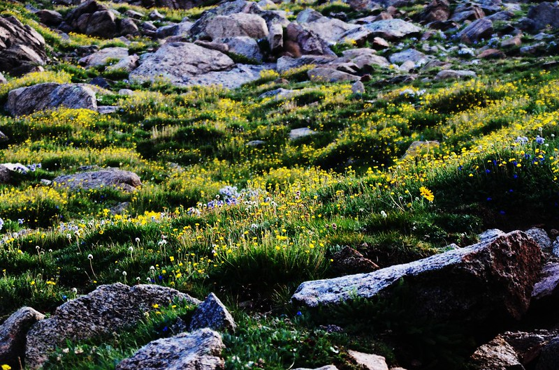 Tundra flowers along the trail up to Mount Evans (1)