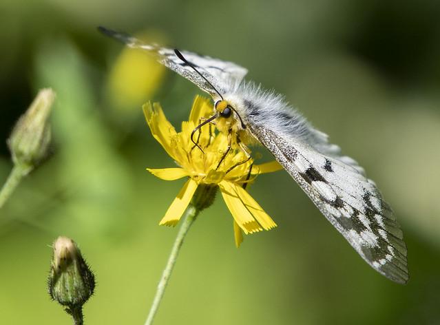 Clodius parnassian on Meadow Salsify
