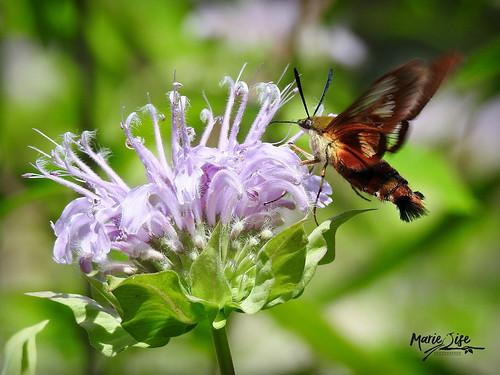Sphinx du colibri