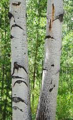 Aspen Tree Trunks c DSC_0131_edited-2