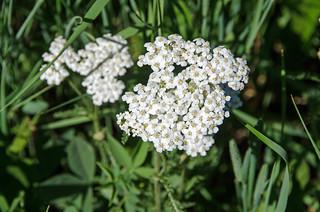 White Yarrow, Achillea millefolium  DSC_0010_edited-1