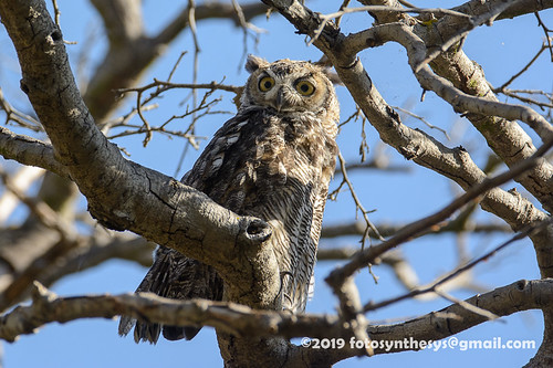California Great Horned Owl (Bubo virginianus pacificus), adult DSD_8968