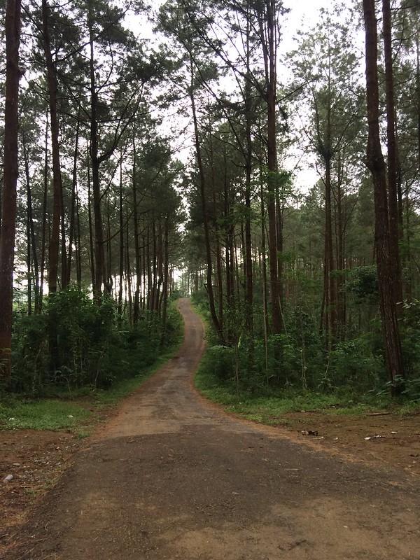 cethuk/hutan pinus kulo progo
