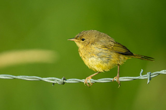 Fledgling Common Yellowthroat