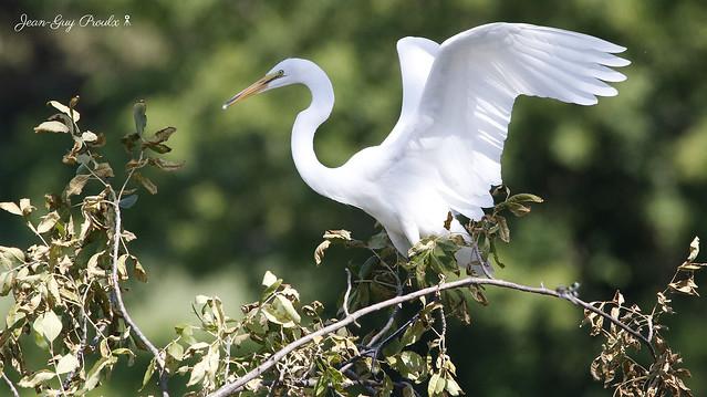 Grande Aigrette: ( Great Egret )
